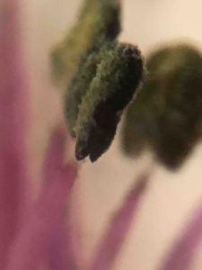 pollen pink copy